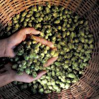 Brauerei Spezial |Hopfen